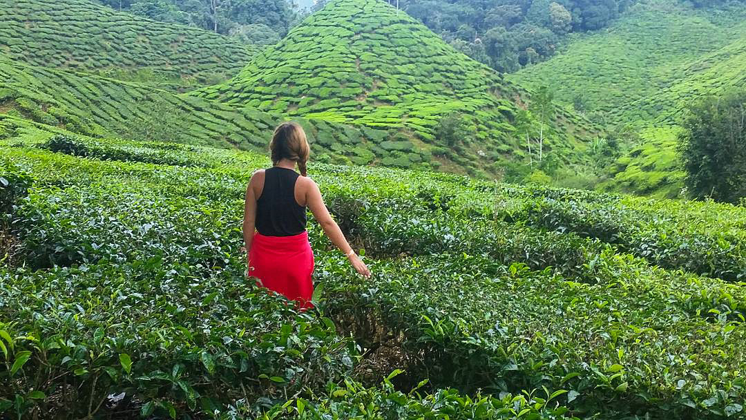 piantagioni di tè cameron highlands malesia